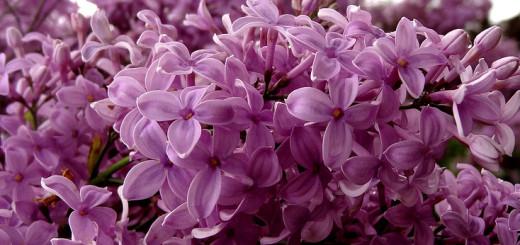 bungaan